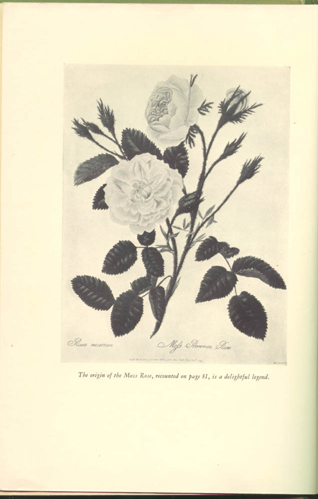 Picture of flower in My Friend the Rose by Francis Edward Lester