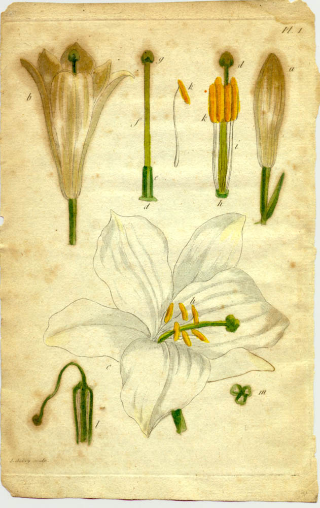Flower pictured in Recueil de Plantes Coloriees by Thomas Martyn