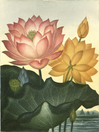 Egypt Water Lily, pink and yellow